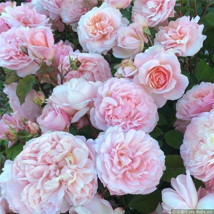 粉红格鲁斯亚琛( Pink Gruss an Aachen)月季