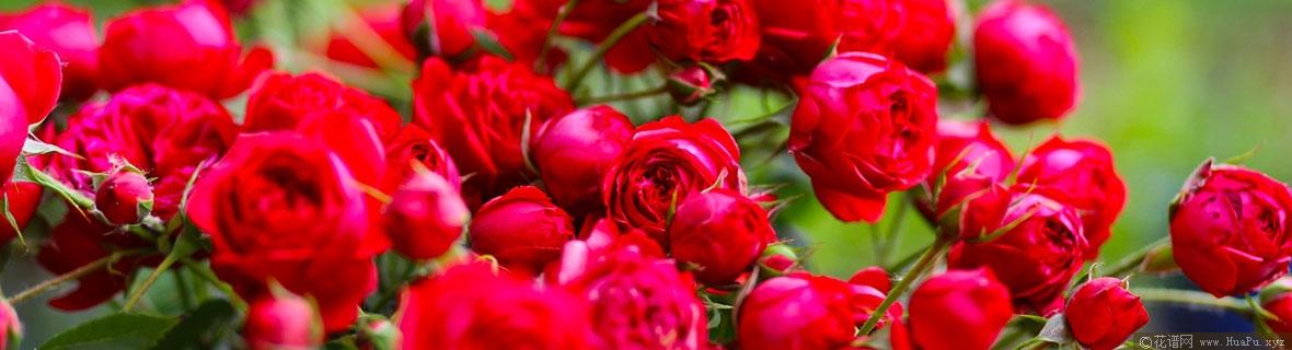 红苹果月季