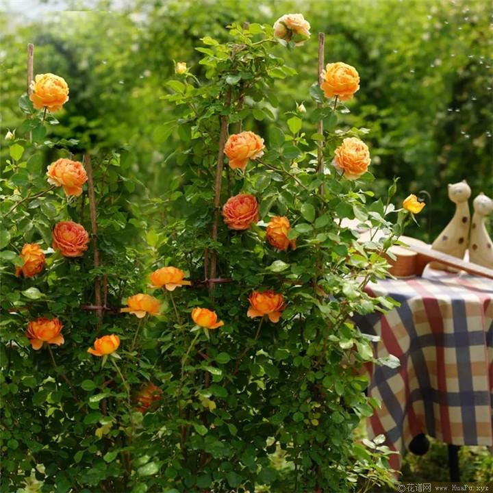 蜂蜜焦糖月季