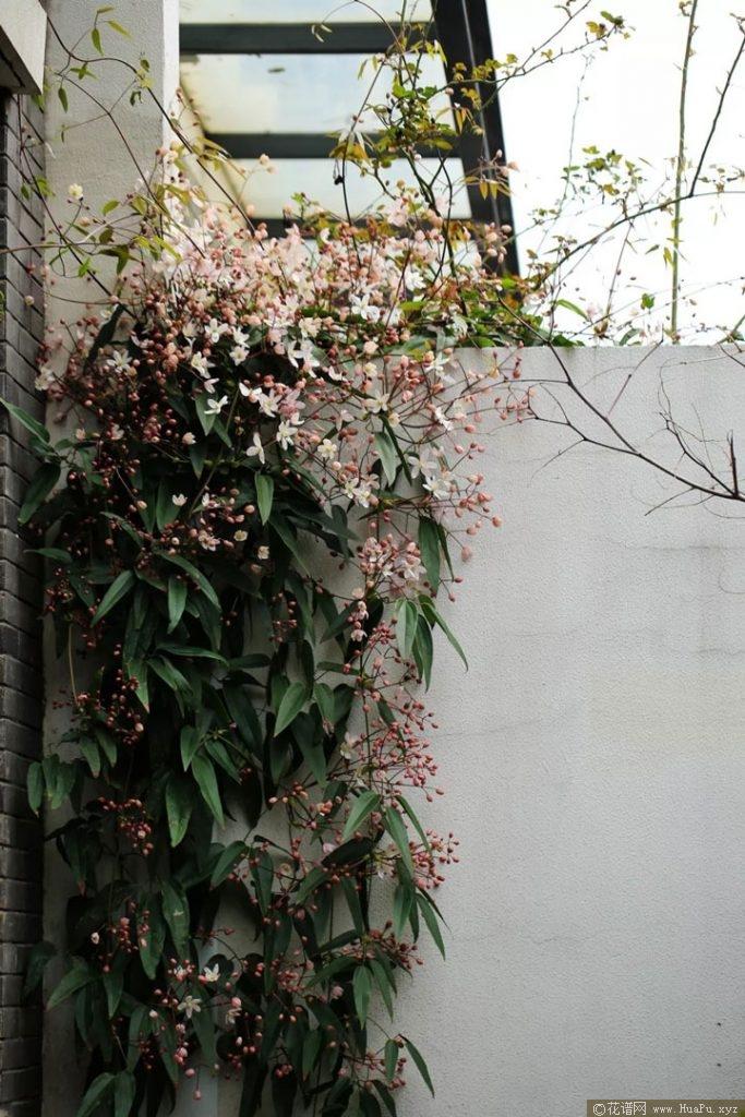 铁线莲苹果花(Apple Blossom)