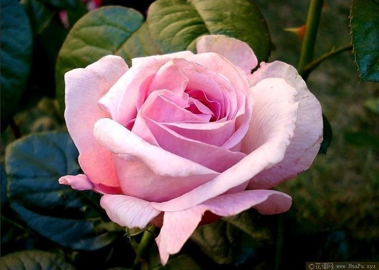 粉色尤里卡