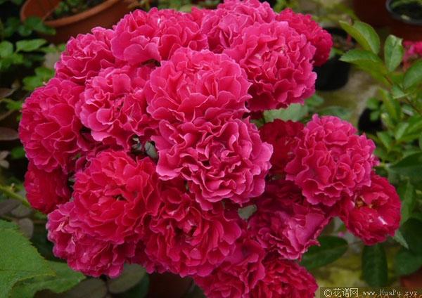 蔷薇:海棠蔷薇