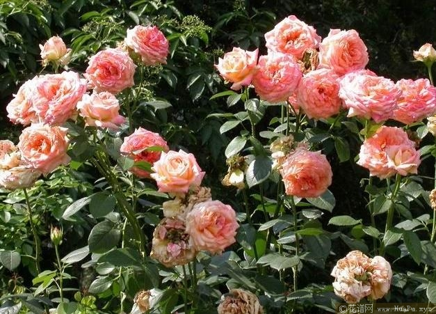 丰花月季( Floribunda Roses ,简称 FI )