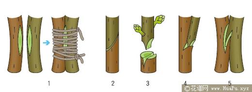 移花接木的嫁接栽培