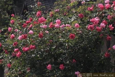 中国古老月季-月月粉