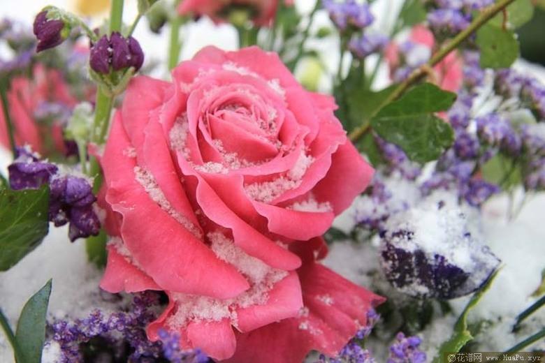 灌木:卷曲粉红 Curly Pink
