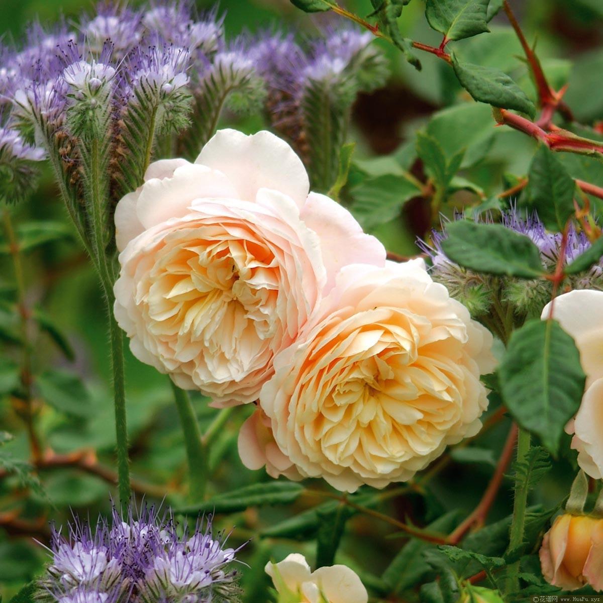 灌木:红花玫瑰 Crocus Rose/Emanuel/Timaru/Ausquest