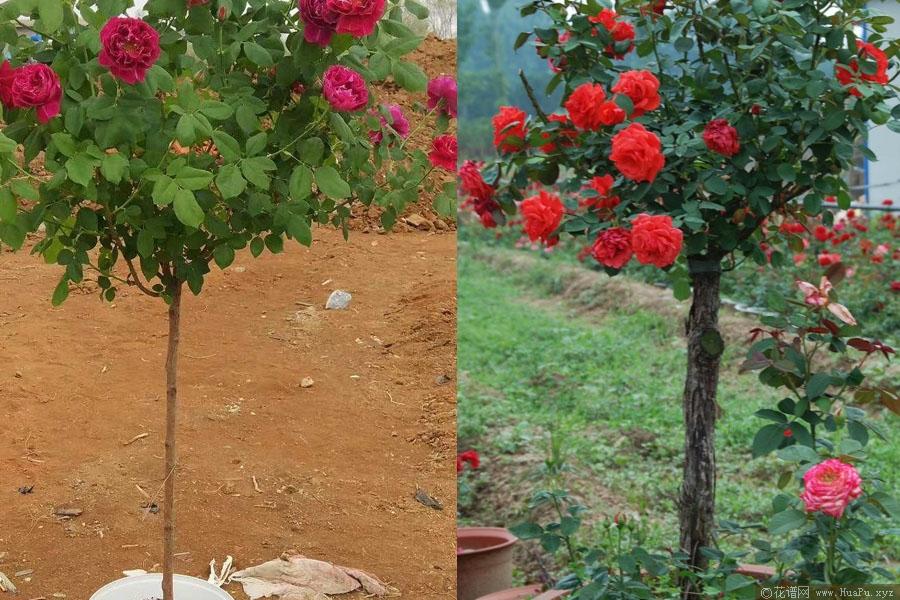 树状月季用什么做砧木?