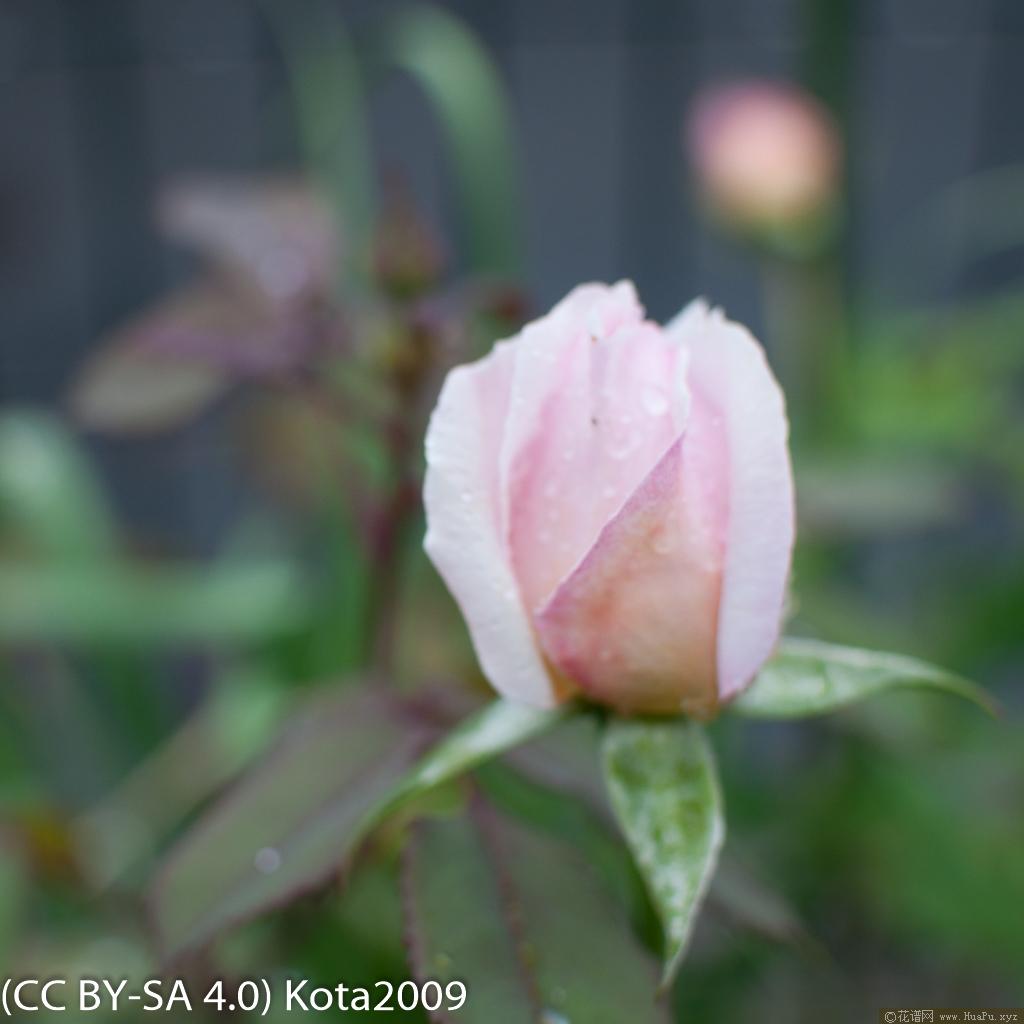 月季夏莉法阿斯马 Sharifa Asma全年养殖记录(日本kota)