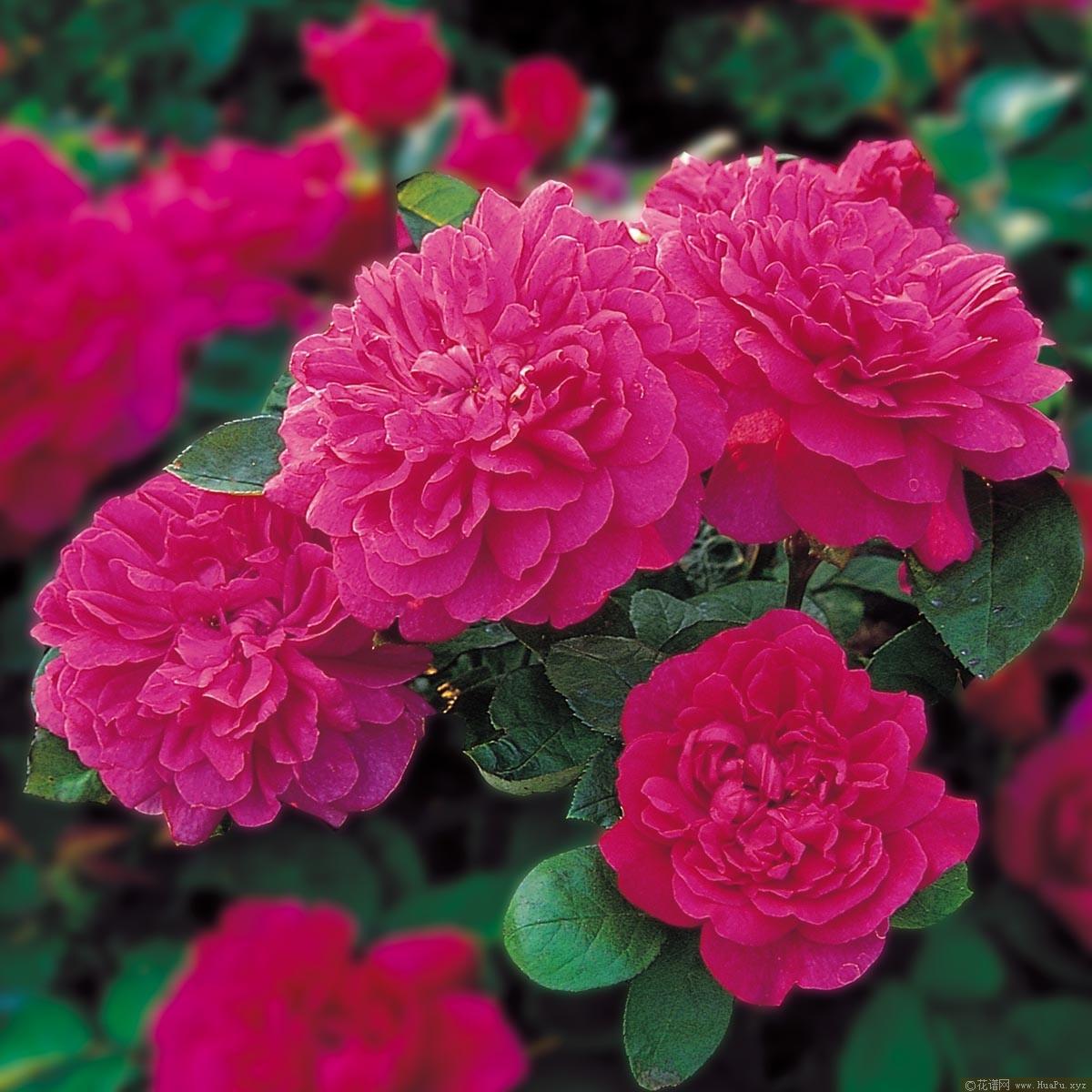 苏菲的玫瑰Sophy s Rose