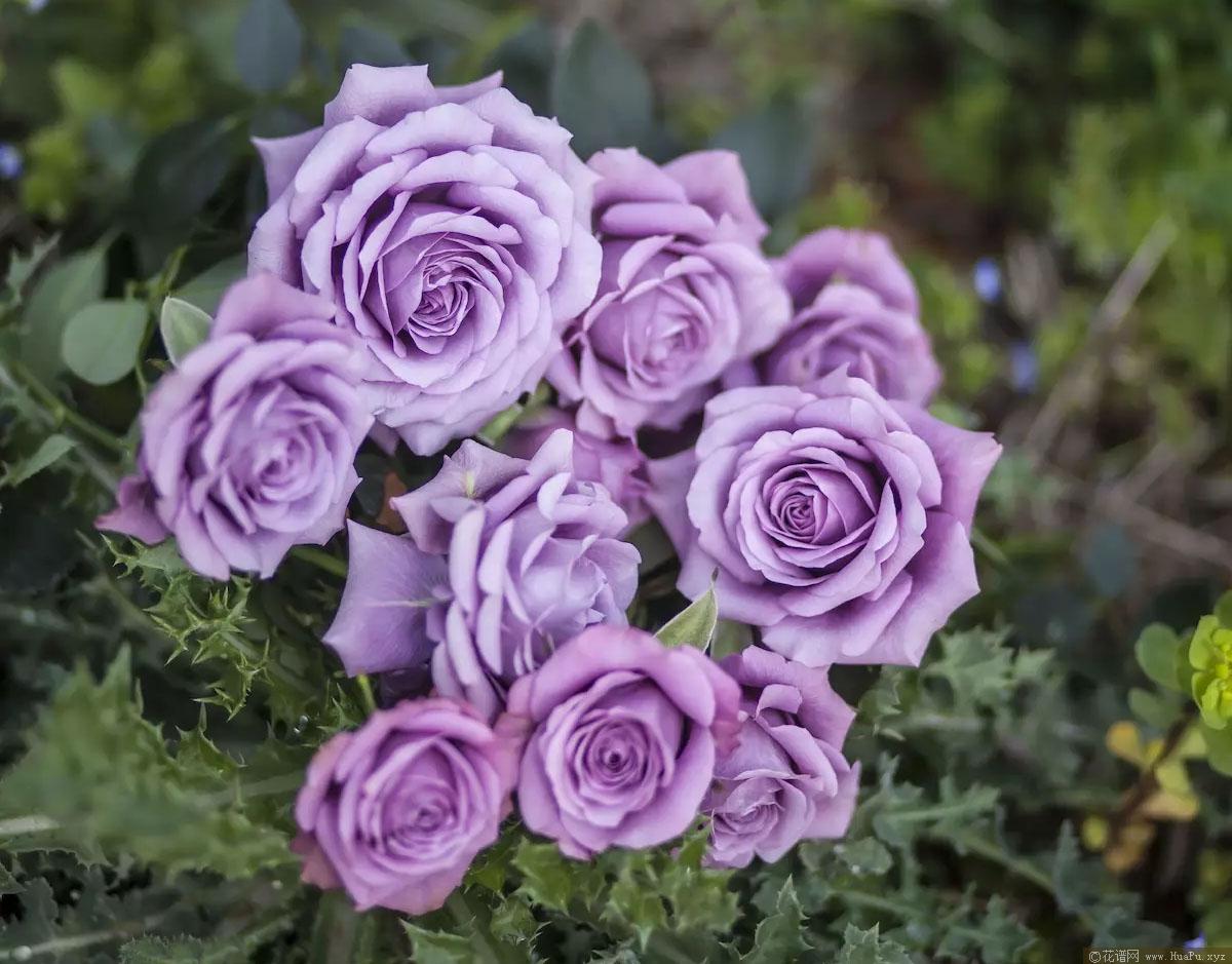 薰衣草女神/紫精灵Lavender Folies