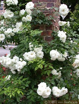 蔓性玫瑰育种之大突破− 攀缘玫瑰(Climbers)