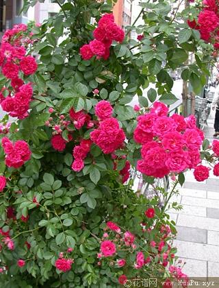 攀缘玫瑰和蔓延玫瑰之差异