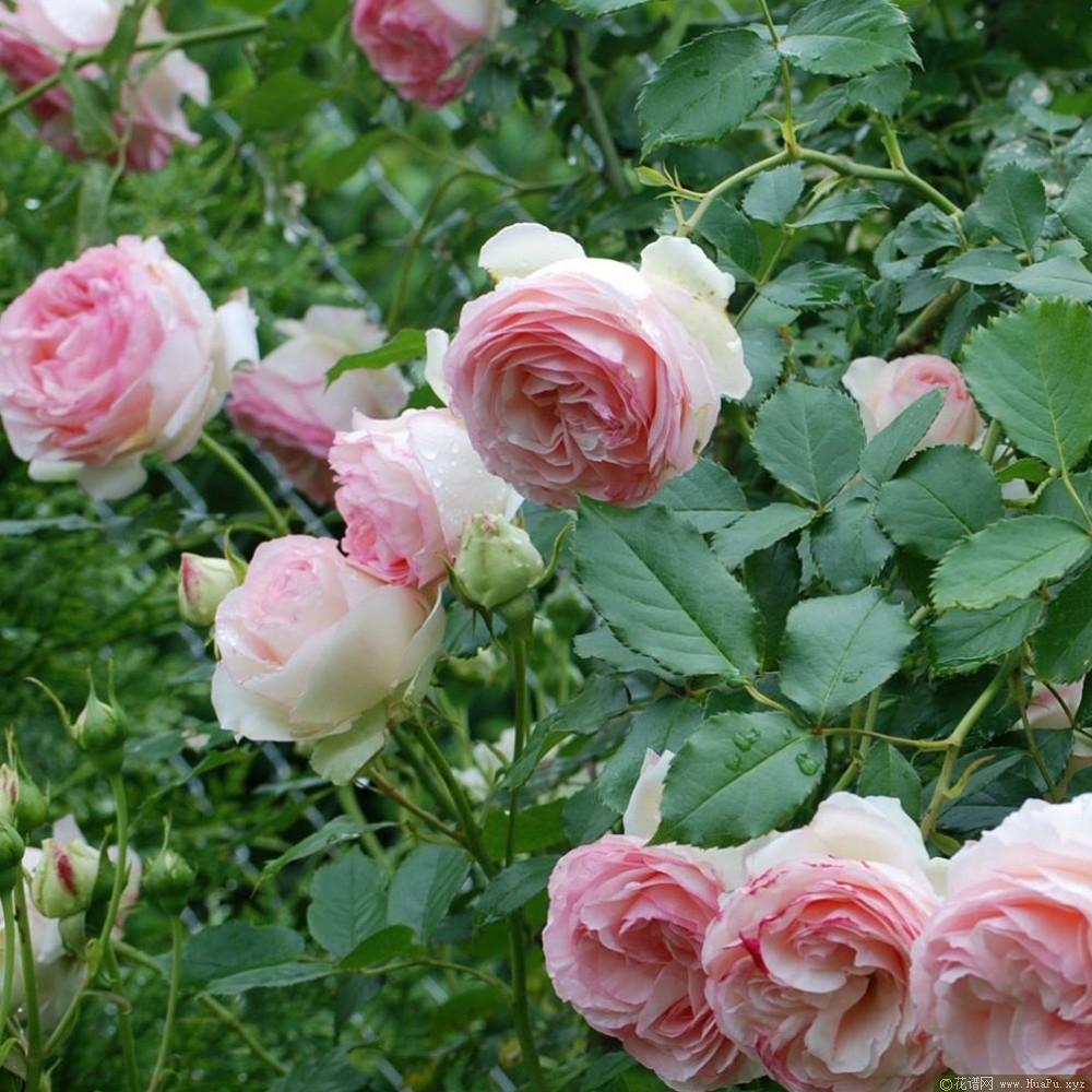 粉龙/伊甸园玫瑰8