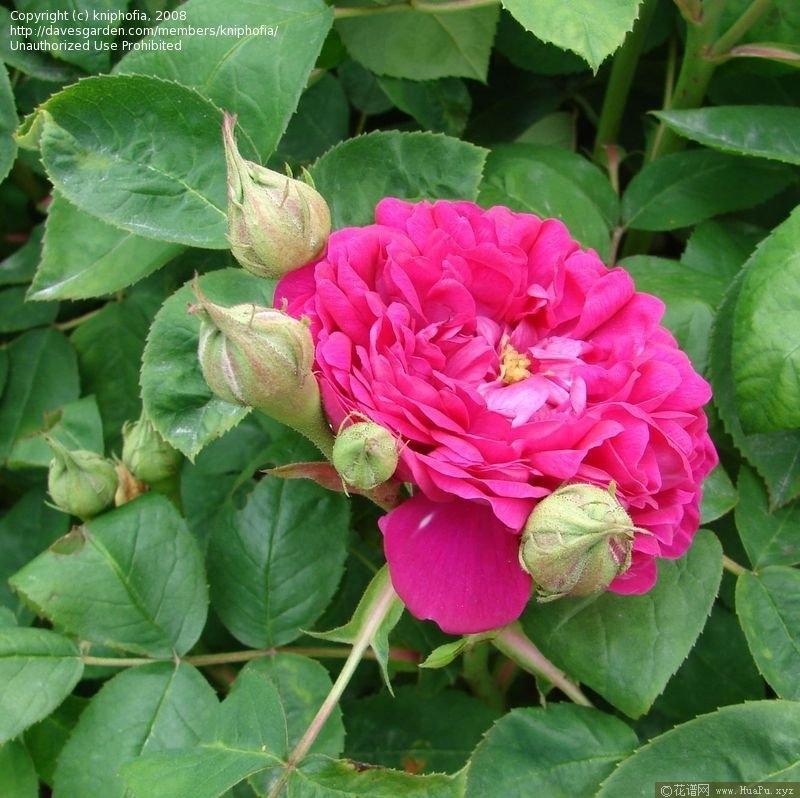 雷士特玫瑰