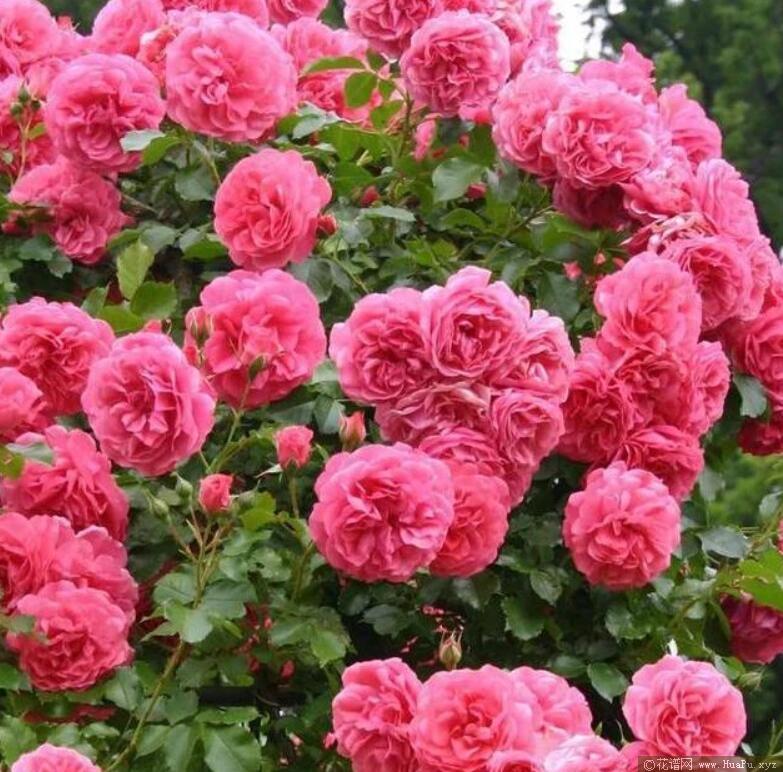玫瑰园尤特森
