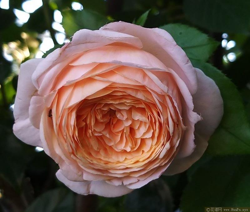 香缇别苑/玫瑰香橙
